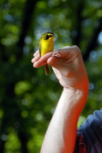 Kentucky Warbler netted and banded at CNR's Hill Camp